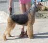 Питомник FoxFuture (фото тримминга эрделей) .